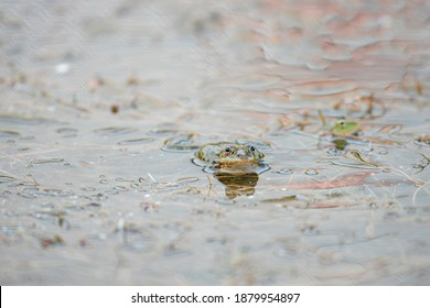 Green frog in wildlife lake reptile. Lithobates catesbeianus is a strong jumper. Rainforest frog wild jump, ecology swamp fauna macro wildlife