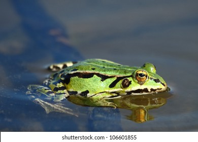 Green frog.Edible green frog (Rana esculenta), is a medium-thick-set tailless animals, up to 12 cm in length, but usually smaller.Edible green frog in the shallow water of lake.