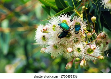 Green fruit beetles on the flower. Cotinis mutabilis, also known as the figeater beetle (also green fruit beetle or fig beetle), is a member of the scarab beetle family.