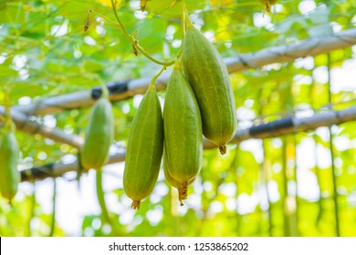 The green fruit of Bunch Sponge Gourd, Sponge gourd, Smooth loofah, Vegetable sponge, Gourd towel (Luffa cylindrica) hang in the vegetable garden