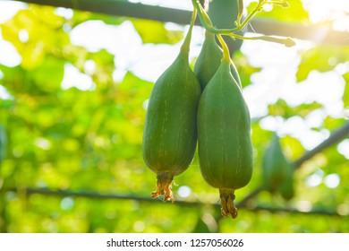 The green fruit of Bunch Sponge Gourd, Sponge gourd, Smooth loofah, Vegetable sponge, Gourd towel (Luffa cylindrica) hang in the vegetable garden