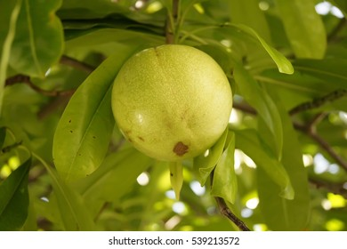 The green fruit is on the tree