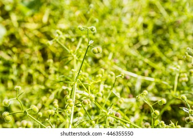 Green fruit plants Galium aparine L. (stickyjack, velcro weed, grip grass).