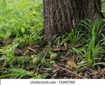 Green fruit of the root of walnut tree