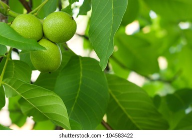 The green fruit of walnut leaves on a tree