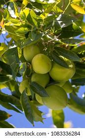Green fruit of White Sapote, Mexican apple growing in Australia (Casimiroa edulis)