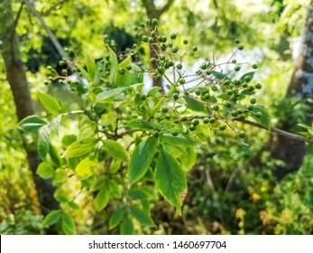 Green fruits of black  elder or elderberry shrub, Sambucus nigra, growing in Galicia, Spain