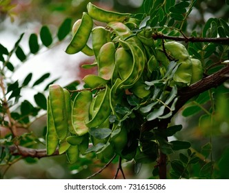 Green fruits of carob tree on the branch