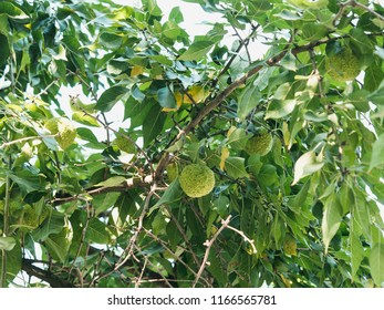Green fruits of maclura pomifera osage orange, horse apple, adam's apple grow in wild on tree. Maclura fruit used in alternative medicine, in particular for treatment of joints and sciatica.