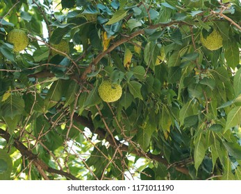 Green fruits of maclura pomifera osage orange, horse apple, adam's apple grow in wild on tree. Maclura fruit use in alternative medicine, in particular for treatment of joints and sciatica. Copy space
