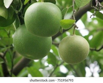 Green fruits on the tree