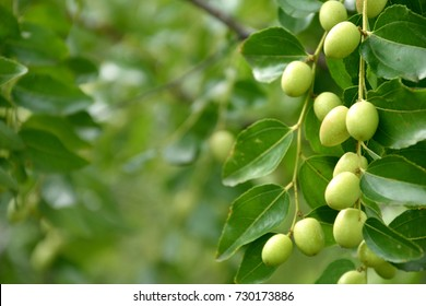green fruits of Ziziphus jujuba on a tree