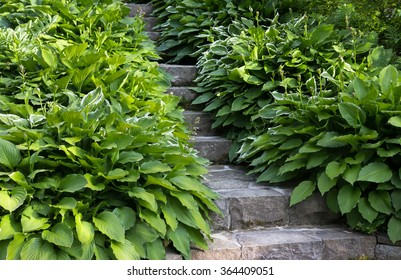 green funkia leaves next to the massive stone stair walk way in the summer