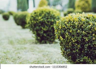 Green garden balls of boxwood. Landscape designe. Park with shrubs