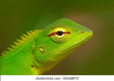 Green Garden Lizard, Calotes calotes, detail eye portrait of exotic tropical animal in the green nature habitat, Sinharaja Forest, Sri Lanka.