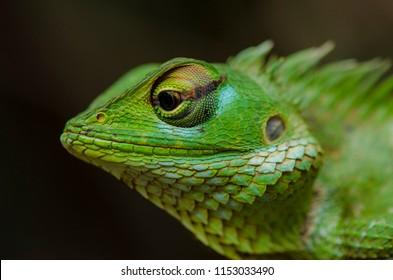 Green garden lizard in Sinharaja rain forest in Sri Lanka
