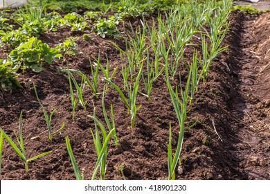 green garlic in the garden