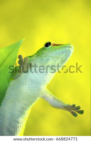 Green Gecko climbing glass