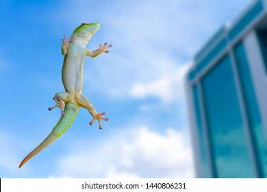 Green gecko lizard on glass on a white background.