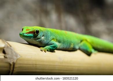 Green Gecko from Madagascar - Phelsuma madagascariensi grandis