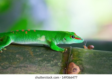 Green gecko and the snail