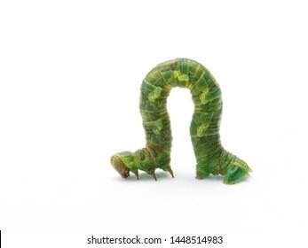 Green Geometrid  caterpillar (looper or inchworm) crawling forward in characteristic looping movement, isolated