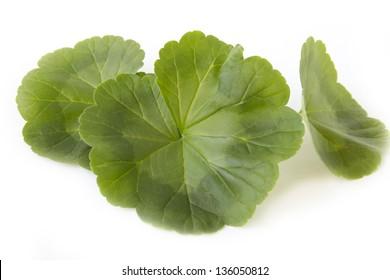 Green geranium leaves