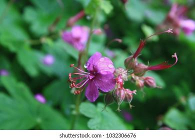 Green Geranium macrorrhizum in purple bloom (known also as bigroot geranium, Bulgarian Geranium and rock crane's-bill). Shot during springtime with water drops on the petals.