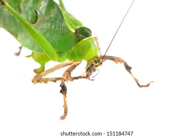 Green giant katydid Ancylecha fenestrate isolated