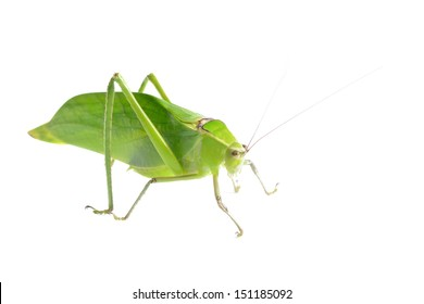 Green giant katydid Stilpnochlora couloniana isolated