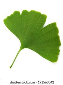 green ginkgo biloba isolated on white background