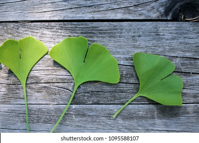 Green ginkgo biloba leaves isolated on wood background.