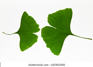 Green ginkgo biloba leaves on a light box background