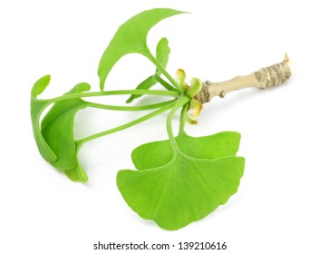 green ginkgo leaf isolated on white background