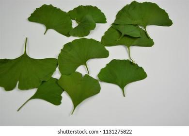 Green ginkgo leaves