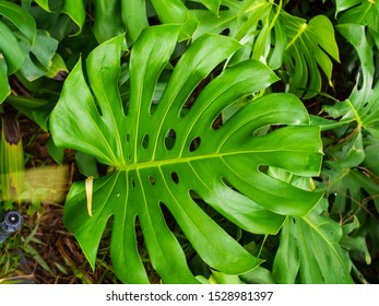 Green glossy split leaves of Philodendron selloum
