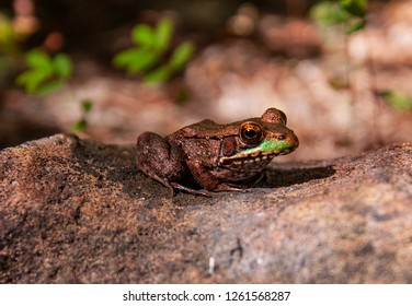 A green and gold frog