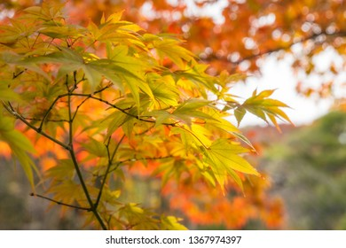Green and Gold Maple Leaves on a blurred autumn foliage background at Koko-en Garden in Himeji, Japan.