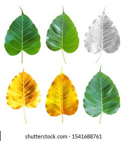 Green Gold Silver Leaves Bodhi Tree isolated on white background.