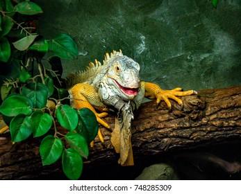 Green Golden Iguana