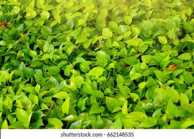 Green golden pothos ivy background