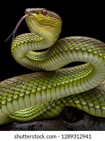 Green Goldy Skin Viper Snake 2001026 - Exotic Reptile Animal Photo Collection