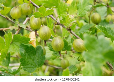 Green gooseberry berries. Bush of gooseberry closeup.