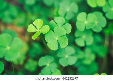 Green Gotu kola, Asiatic green leaf background,Soft focus