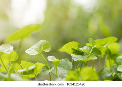 Green Gotu kola, Asiatic pennywort, Indian pennywort ,herb plant