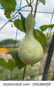 the green gourd
