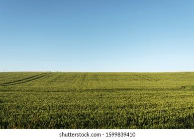 Green grain field in summer morning.