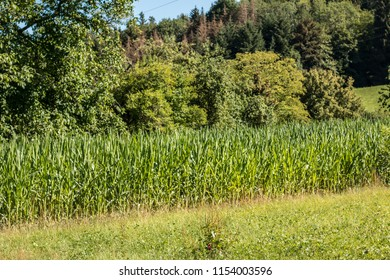Green grain on a big german grain field