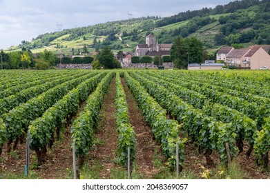 Green grand cru and premier cru vineyards with rows of pinot noir grapes plants in Cote de nuits, making of famous red and white Burgundy wine in Burgundy region of eastern France.