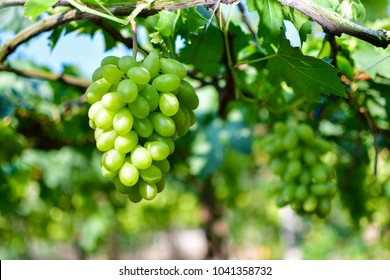 Green grape garden,winery farm,vine for food healthy 's lover,salad green grape